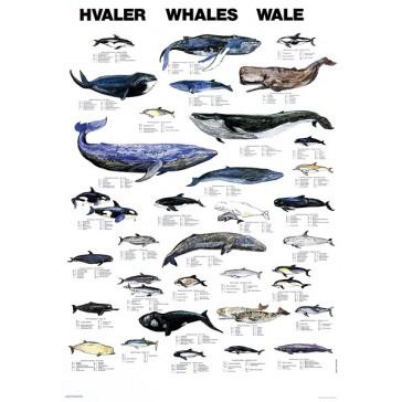 Hvaler
