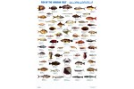 Fisk fra den Arabiske Golf
